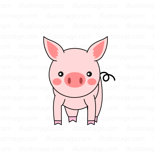 Pig seen from the front