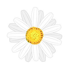 White Marguerite Flower
